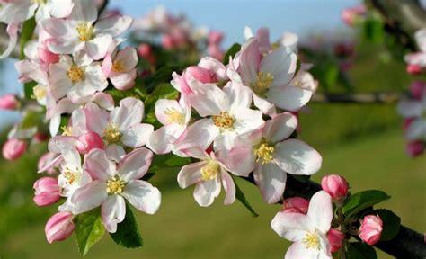 larousse de la cuisine encyclopédie larousse en ligne branche de pommier en fleurs