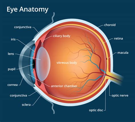 human eye anatomy parts  structure  biology notes