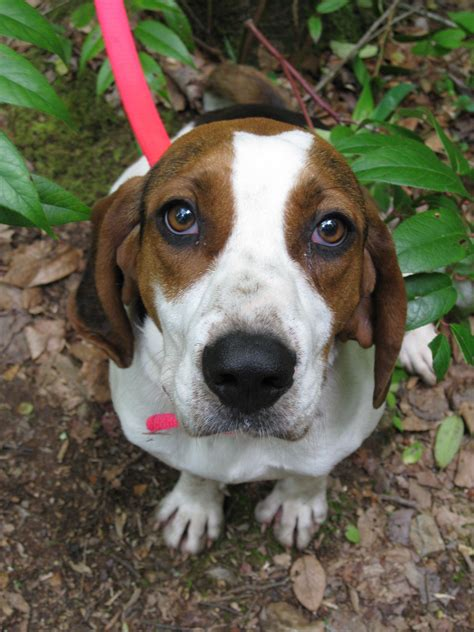 walker coonhound hound treeing dog puppies coonhounds beagle breed dogs much mix akc ever another breeds puppy basset cute