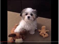 Wuscheliger Puschelhund Benji liebt seinen Plüschelch