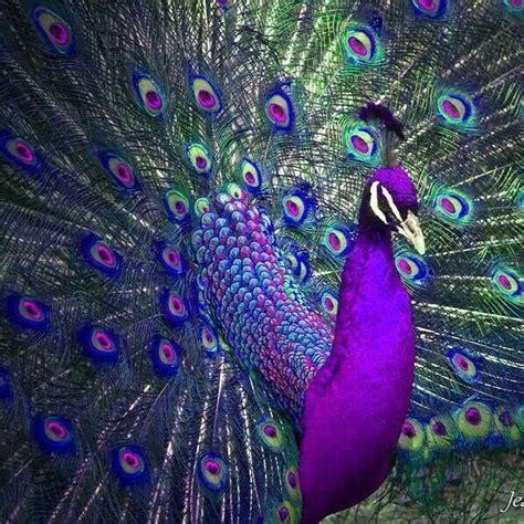 colorful peacock best 25 peacocks ideas on pretty birds