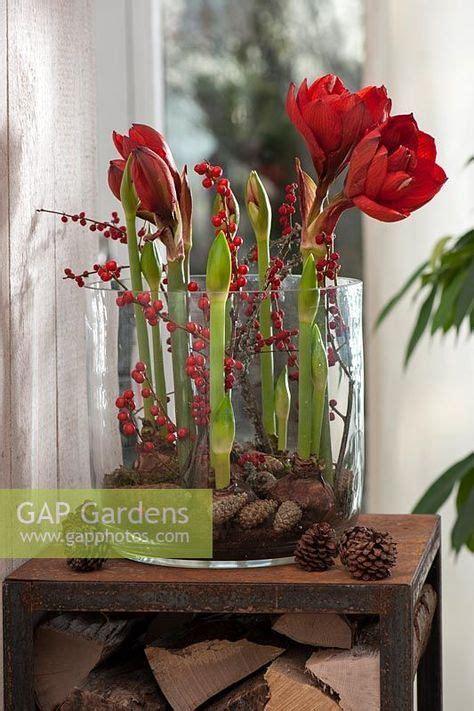 amaryllis im glas mit moos hippeastrum amaryllis and pinecones ciekawostki deko winter weihnachten deko weihnachten