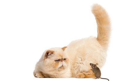 Gatti Persiani It by Il Miglior Cibo Per I Gatti Persiani Classifica E