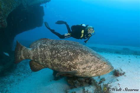 goliath grouper giant atlantic species fish ocean human mag mildlyinteresting looks xray underwater eats diver ray scale relatively well