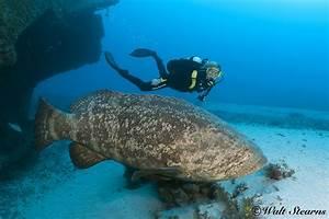 Save The Ocean : Atlantic Goliath Grouper