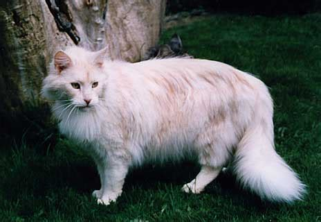 Dragonlord´s Coree - Maine Coon Katze