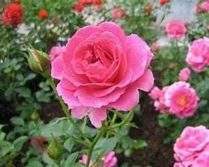 Rose Garden Wallpapers