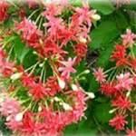 Tropical Climbing Plants  Order Now  Thai Garden Design