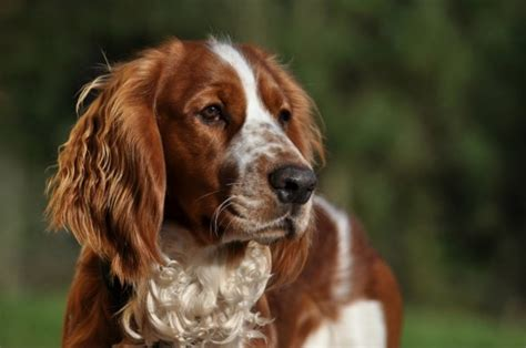 how to keep a welsh springer spaniel s coat looking good