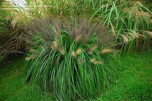 PlantFiles Pictures: Black Fountain Grass 'Moudry ...