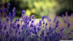 Download Beautiful Lavender Flowers Wallpaper 1920x1080 ...