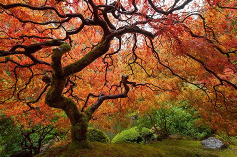 maples tree get to know a variety of maple tree species