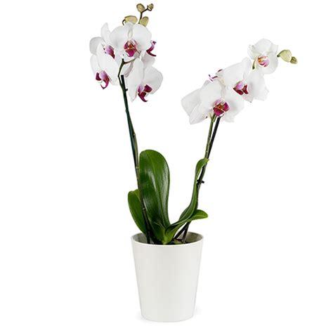 zarte weisse orchidee im uebertopf floraqueen