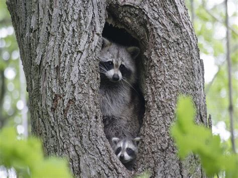Animal Wallpaper For Home - wallpaper sea raccoon background