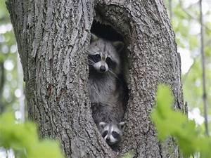 Raccoon, Intelligent Thief | Animal Photo