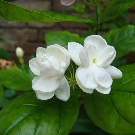 Buy White Jasmine Office Balcony Indoor Potted Flowers