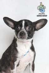 view ad boston huahua dog  adoption tennessee