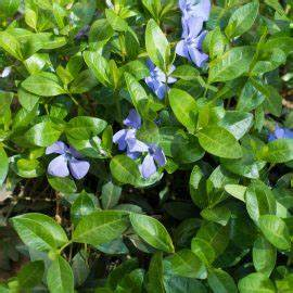 Was Blüht Im Schatten : bodendecker die 5 besten tipps f r pflege und pflanzung willkommen in franks kleinem garten ~ Markanthonyermac.com Haus und Dekorationen