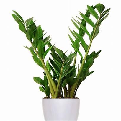 Plant Zamioculcas Houseplants Low Plants Easy Grow