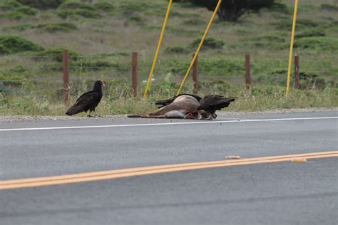 File:Turkey Vultures eating road kill - Stierch 02.JPG ...
