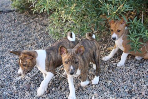 32 Best Images About Basenji Puppies On Pinterest