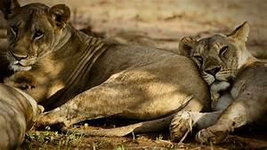 Borne Free Lyon : elsa 39 s legacy the born free story did you know five recent lion discoveries nature pbs ~ Medecine-chirurgie-esthetiques.com Avis de Voitures