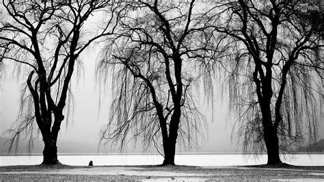 tree black  white high resolution wallpapers black