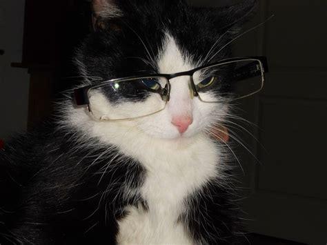 kater mit brille katze schlaue kostenloses foto auf pixabay