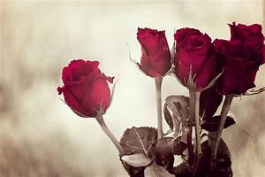 Most Beautiful Rose Flower Pictures | www.pixshark.com ...
