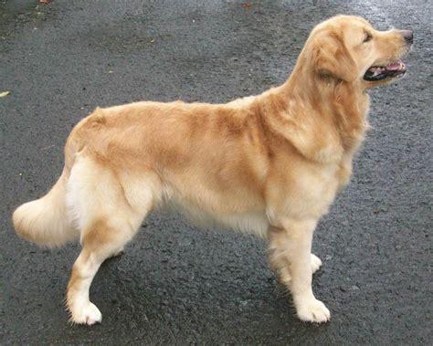 jual anjing golden retriever dewasa produktif jual
