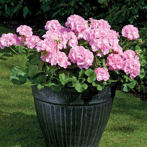 designer plants pelargonium designer light pink woolmans