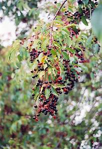 Black Cherry (Prunus serotina) in Saskatoon, Saskatchewan ...