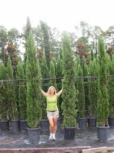 Leyland Cypress Christmas Tree Seedlings For Sale by Blue Arizona Cypress Tree Related Keywords Blue Arizona