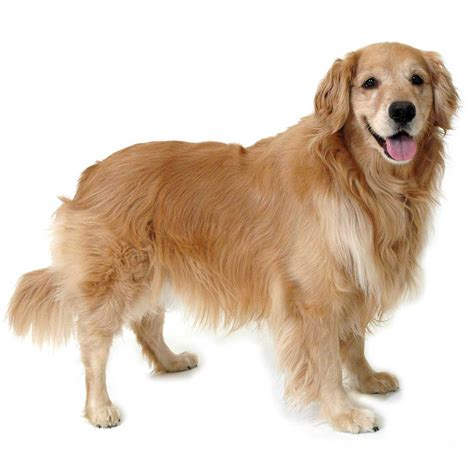 Golden Retriever Dog Breed Information Pictures And More