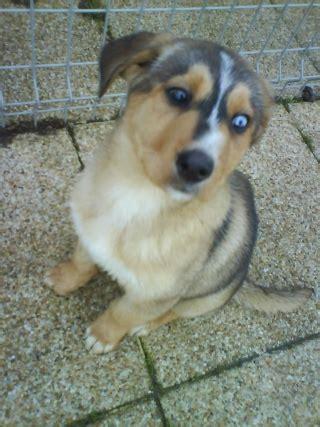 le berger oil near me quel est le plus beau chien croisé que vous ayez vu