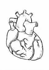 Lungs Coloring Heart Drawing Pages Getdrawings sketch template