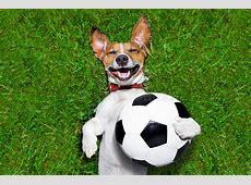 滑稽的足球狗 库存图片 图片 包括有 插孔, 球员, 金子, 风扇, 宠物, 敌意, 里约, 目标, 罗素