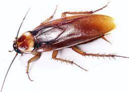 Wie Sehen Kakerlaken Aus : ist das eine kakerlake oder ein ohrwurm insekten sch dlinge kakerlaken ~ Watch28wear.com Haus und Dekorationen