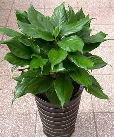 wikipedia tanaman tanaman hias aglaonema info tanaman