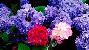 Hortensien überwintern Im Garten : so berwintern hortensien mit diesen tipps kommen sie durch den winter verbrauchertipps ~ Frokenaadalensverden.com Haus und Dekorationen