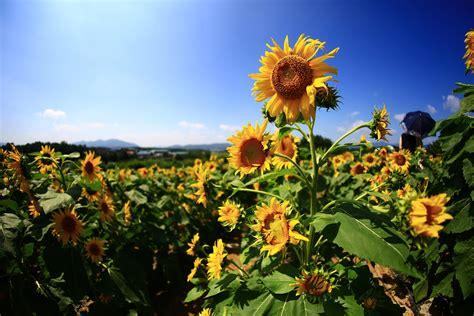 fiori girasole immagini di girasoli fiori