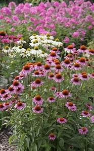 Sonnenhut Pflanze Kaufen : die besten 25 sonnenhut pflanze ideen auf pinterest ~ Buech-reservation.com Haus und Dekorationen