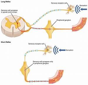 Autonomic Reflexes And Homeostasis