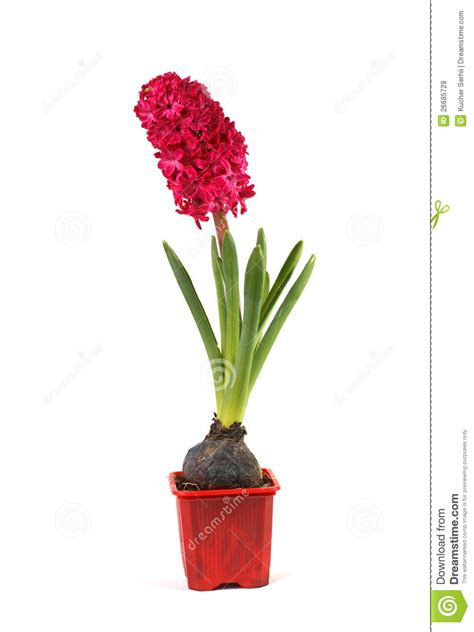 hyacinth in a pot stock image image of bouquet fragrant