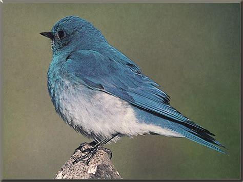 top 28 mountain bluebird facts mountain bluebird