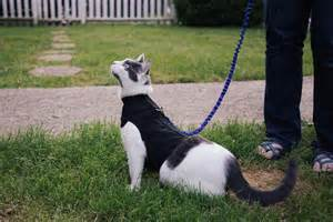 cat leash what of harness does your cat need adventure cats