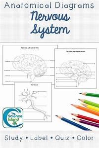 Nervous System Diagrams And Quizzes