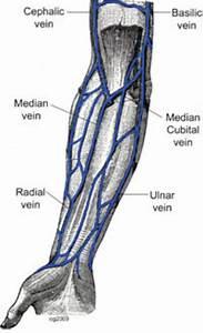 Forearm Veins