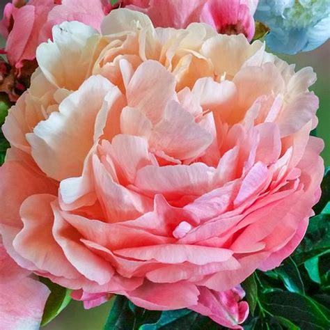 peonies hawaii peony pink hawaiian coral k van bourgondiens
