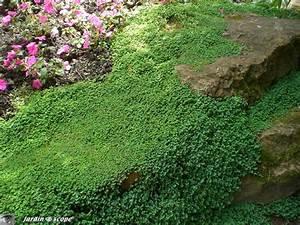 Couvre Sol Vivace : l 39 helxine forme de beaux coussins couvre sol le ~ Premium-room.com Idées de Décoration
